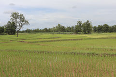 Green rice field in Thailand Stock Images