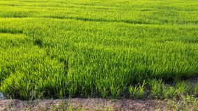 Green rice field in Thailand waiting to harvest Royalty Free Stock Photos