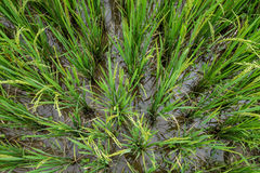 Green rice field on top view Stock Photos