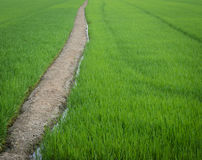 Green rice field with trail Royalty Free Stock Photography
