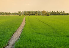Green rice field with trail Royalty Free Stock Images