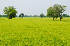 Green rice field with trees Stock Photos