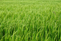 Green rice field. Tropical rice field in Thailand Stock Photo