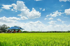 Green rice field. Tropical rice field in Thailand Stock Images