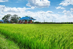 Green rice field. Tropical rice field in Thailand Stock Photography