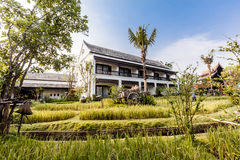 Green rice field in the villa,Thailand Royalty Free Stock Image