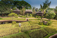 Green rice field in the villa,Thailand Stock Photography