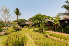 Green rice field in the villa,Thailand Royalty Free Stock Photo