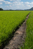 Green rice field Royalty Free Stock Images