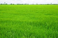 Green Rice field wide. Stock Photos