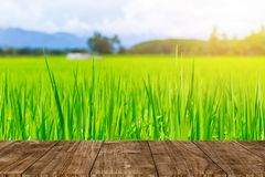 Green rice field with wooden table for natural organic stock photo