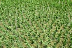 Green Rice  field . Stock Photography