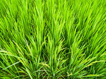 Green rice field4. Green rice field which is in Northern of Thailand Stock Image