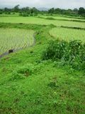 Green rice fields. Scenic view of green rice fields in countryside landscape Royalty Free Stock Photos