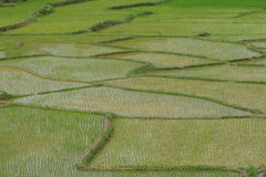Green rice fields Stock Images
