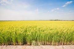 Free Green Rice Fields Stock Photo - 31853170
