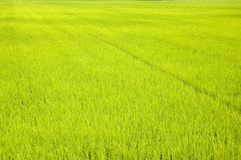 Green rice fields. In row Stock Image