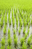 Green rice fields. In early stage Royalty Free Stock Images