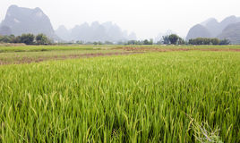Green rice fields in Asia. Bright green rice fields in the county of Yangshuo near Guilin in southern China with the typical limestone karsts in the distance Royalty Free Stock Photos