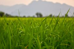 Rice fields and evening sunsets. Green rice fields With the background as the evening sun is falling royalty free stock images