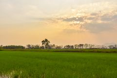 Rice fields and evening sunsets. Green rice fields With the background as the evening sun is falling stock image