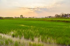 Rice fields and evening sunsets. Green rice fields With the background as the evening sun is falling royalty free stock image