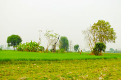 Green rice fields is background Royalty Free Stock Image