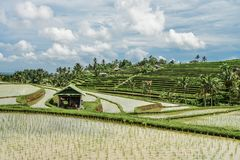 Green rice fields on Bali island Royalty Free Stock Photography