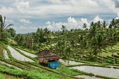 Green rice fields on Bali island Royalty Free Stock Photo
