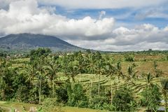 Green rice fields on Bali island Royalty Free Stock Image