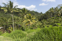Green rice fields on Bali island, Jatiluwih near Ubud, Indonesia Royalty Free Stock Image