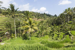 Green rice fields on Bali island, Jatiluwih near Ubud, Indonesia Royalty Free Stock Photos