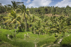 Green rice fields on Bali island, Jatiluwih near Ubud, Indonesia Royalty Free Stock Images
