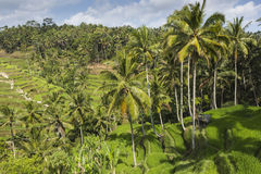 Green rice fields on Bali island, Jatiluwih near Ubud, Indonesia Stock Images