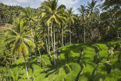 Green rice fields on Bali island, Jatiluwih near Ubud, Indonesia Stock Photography