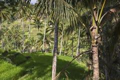 Green rice fields on Bali island, Jatiluwih near Ubud, Indonesia Royalty Free Stock Photo