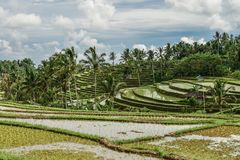 Green rice fields on Bali island Royalty Free Stock Photos