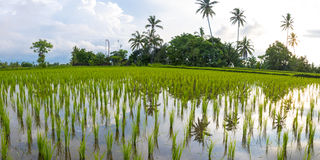 Green rice fields on Bali island, Jatiluwih near Ubud, Indonesia Royalty Free Stock Photography