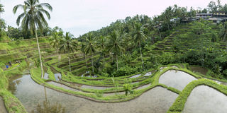 Green rice fields on Bali island, Jatiluwih near Ubud, Indonesia Royalty Free Stock Photo