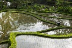 Green rice fields on Bali island, Jatiluwih near Ubud, Indonesia Royalty Free Stock Images