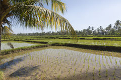 Green rice fields on Bali island, near Ubud, Indonesia Royalty Free Stock Image