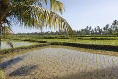 Green rice fields on Bali island, near Ubud, Indonesia Royalty Free Stock Image
