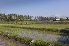 Green rice fields on Bali island, near Ubud, Indonesia Stock Photo