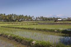 Green rice fields on Bali island, near Ubud, Indonesia Stock Photo