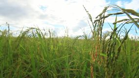 Green Rice fields,Beautiful views landscapes in thailand.  stock video