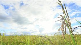 Green Rice fields,Beautiful views landscapes in thailand.  stock footage