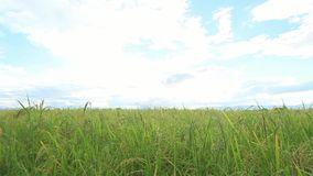 Green Rice fields,Beautiful views landscapes in thailand.  stock video footage