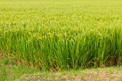 Green rice fields. Stock Photos