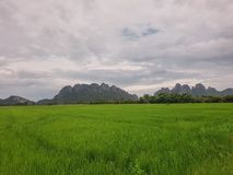 Green rice fields and blue sky and white clouds background. Feel good green field royalty free stock image