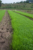 Green rice fields Stock Image